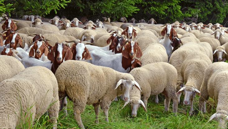 Goat sheep rearing